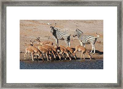 Zebras (equus Quagga Framed Print by Jaynes Gallery