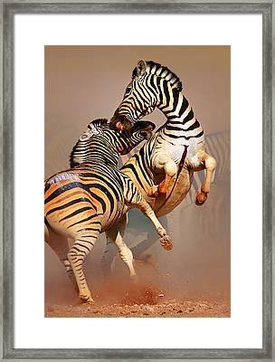 Zebras Fighting Framed Print by Johan Swanepoel