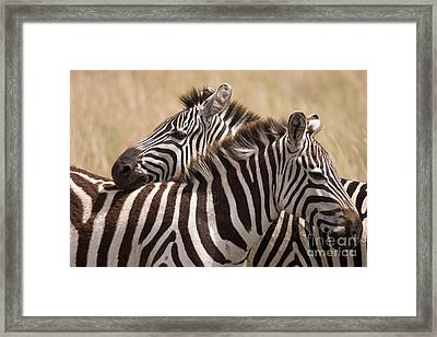 Framed Print featuring the photograph Zebras Friendship by Chris Scroggins
