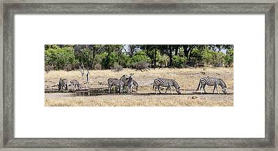 Zebras Grazing In A Forest, Chitabe Framed Print by Panoramic Images