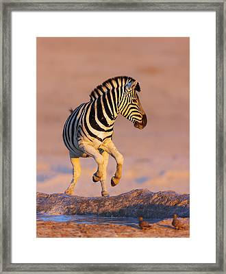 Zebras Jump From Waterhole Framed Print