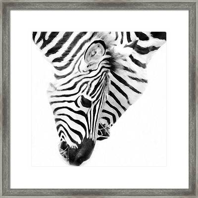 Zebras On White Background Framed Print