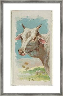 Zebu, From The Wild Animals Framed Print by Allen & Ginter