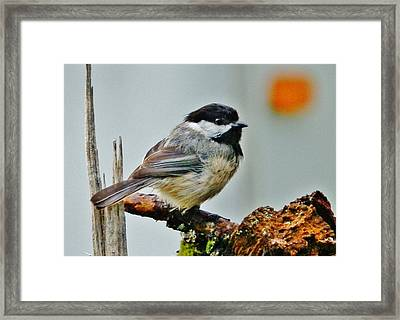 Zen Chickadee Framed Print