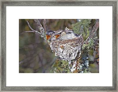 Zimbabwe Puff-backed Shrike Chicks Framed Print by Jaynes Gallery