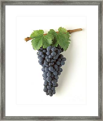 Zinfandel Cluster On White Framed Print by Craig Lovell