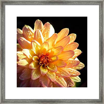 Zinnia Framed Print by Cathy Donohoue