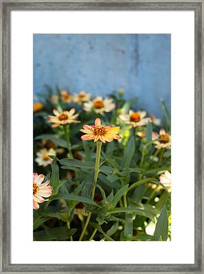 Zinnia Framed Print by Denice Breaux
