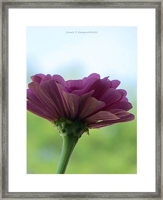 Zinnia Dream Framed Print by Sonali Gangane