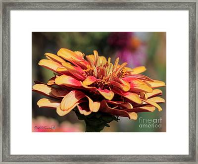 Zinnia From The Whirligig Mix Framed Print