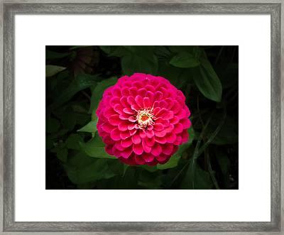 Zinnia In Bloom Framed Print