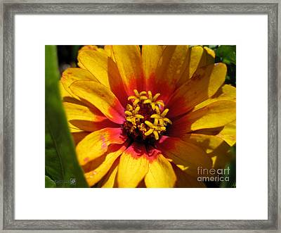 Zinnia Named Swizzle Scarlet And Yellow Framed Print by J McCombie