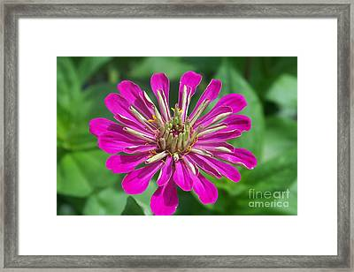 Framed Print featuring the photograph Zinnia Opening by Eunice Miller
