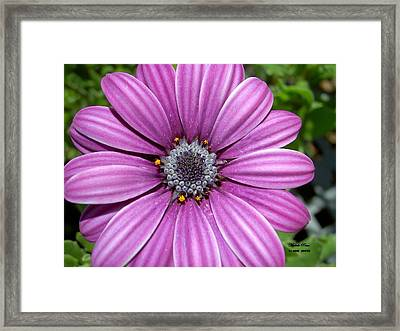 Zinnia Peace Limited Edition Prints From Peace In The Present Moment Book Framed Print