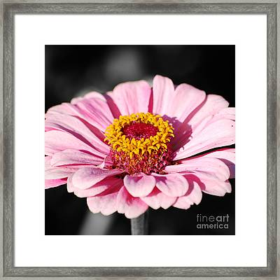 Zinnia Pink Flower Floral Decor Macro Sqaure Format Color Splash Black And White Digital Art Framed Print by Shawn O'Brien