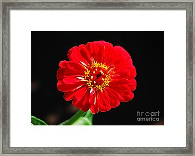 Zinnia Red Flower Floral Decor Macro Accented Edges Digital Art Framed Print