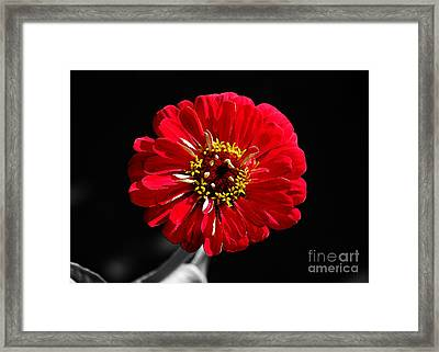 Zinnia Red Flower Floral Decor Macro Watercolor Color Splash Black And White Digital Art Framed Print
