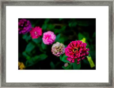Zinnia Singapore Flower Framed Print by Donald Chen