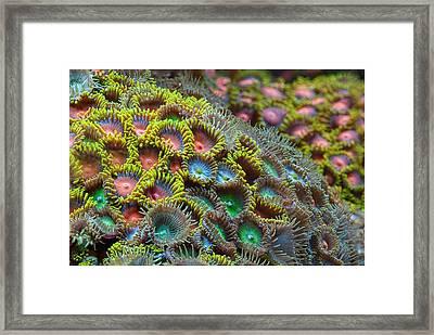 Zoanthids Framed Print