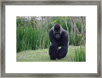 Zootography Of Male Silverback Western Lowland Gorilla On The Prowl Framed Print by Jeff at JSJ Photography