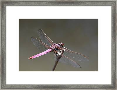 Zootography2 Pink Dragonfly Framed Print by Jeff at JSJ Photography