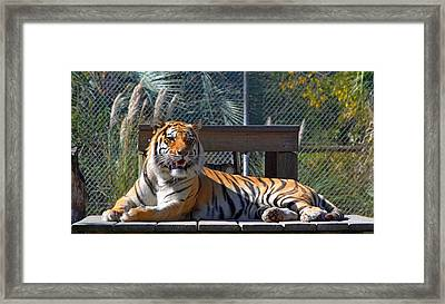 Zootography3 Tiger In The Sun Framed Print by Jeff at JSJ Photography