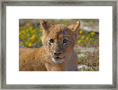 Zootography3 Zion The Lion Cub Framed Print by Jeff at JSJ Photography