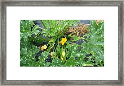 Zucchini Two Framed Print