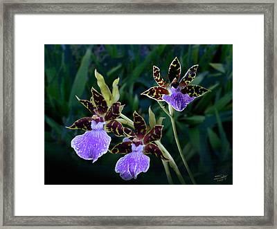 Zygopetalum Orchid Framed Print