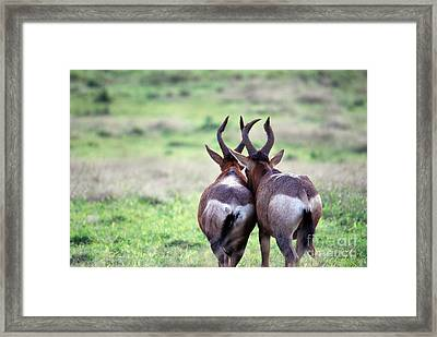 A Springbok Couple Framed Print