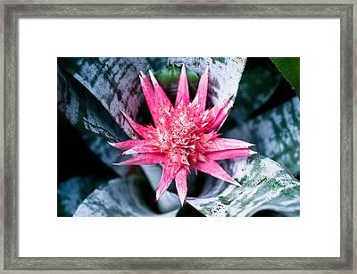 Aechmea Fasciata Bromeliad Flower  Framed Print