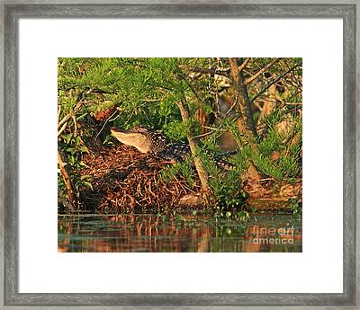 Framed Print featuring the photograph  Alligator On Nest by Luana K Perez