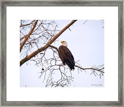 Bald Eagle On Black Bayou Framed Print by J Larry Walker