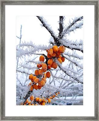 Berries And Frost Framed Print by Aleksandr Volkov