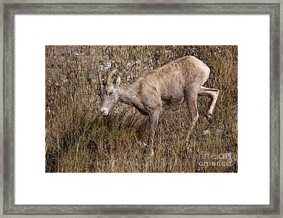 Bighorn Ewe Framed Print by Ronald Lutz