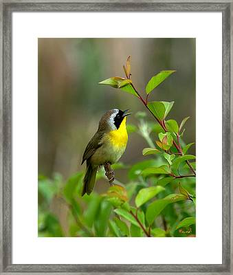 Framed Print featuring the photograph  Common Yellowthroat Warbler Warbling Dsb006 by Gerry Gantt