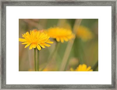 Dandelions Framed Print by Karen Grist