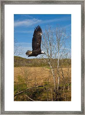 Framed Print featuring the photograph  Eagle Circleing Her Nest by Randall Branham