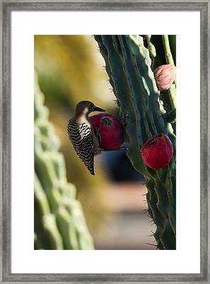 Gila Woodpecker On Cactus Framed Print by Tracey Hunnewell
