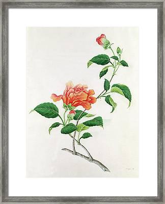 Hibiscus Framed Print by Georg Dionysius Ehret