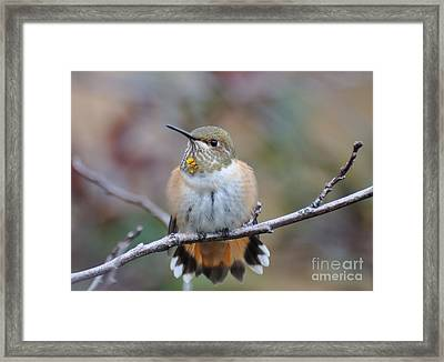 Hummingbird Stretch Six Framed Print by Suzanne Handel