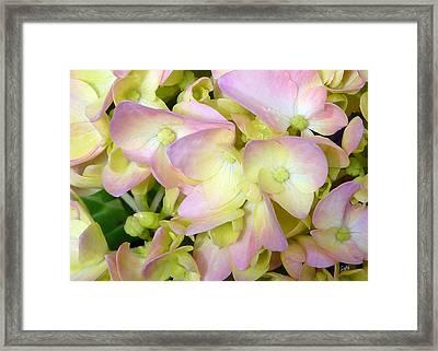 Framed Print featuring the photograph  Hydrangeas   by Sami Martin