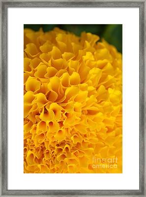 Marigold Macro View Framed Print by Atiketta Sangasaeng