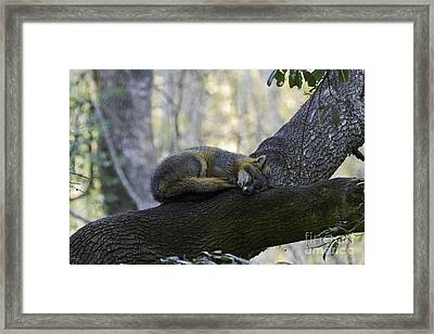 Midday Nap Framed Print