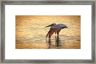 Pelican At Sunset Framed Print
