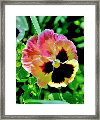 Framed Print featuring the photograph  Pink And Yellow Pansy by Helen Haw
