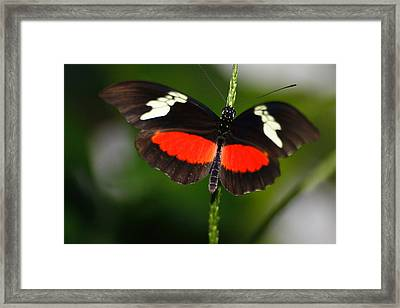 Red White And Black On A Stem Framed Print