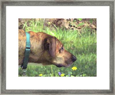 Sighthound At Work Framed Print by Patty Gross
