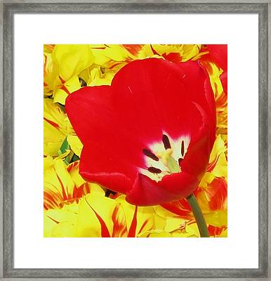 Single Red Tulip Framed Print by Jolie Maybaum