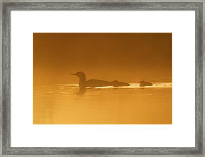 Sterntaucher Framed Print by Winfried Wisniewski